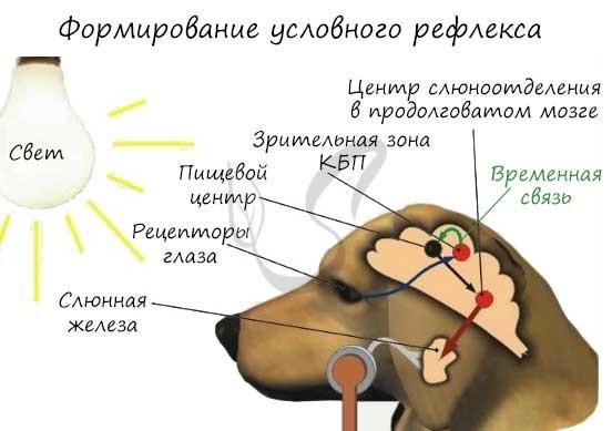 Психика и высшая нервная деятельность - Справочник студента